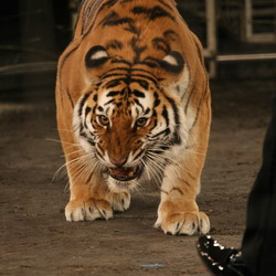 'Тигры