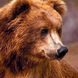 В Кузбассе медведь напал на рыбака