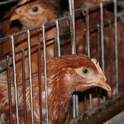 Страховщики возместили ущерб  птицефабрике в Кемерово
