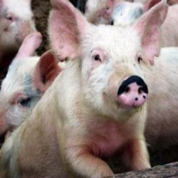 Красноярский край вошел в первую десятку регионов по производству свинины