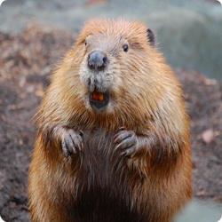 В Кузбассе возросла численность бобров и медведей