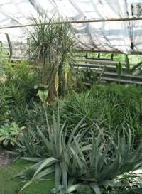 Из-за аномальной жары в Ботаническом саду Кемерова второй раз за год зацвёл алоэ
