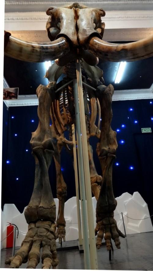 В Кузбасс приехал погостить 6-метровый скелет мамонта (фото/видео)