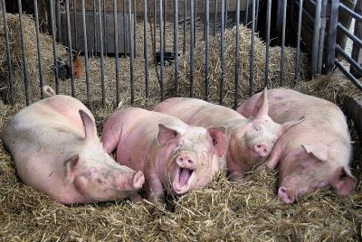 В Кузбассе оштрафовали ветврача совхоза, который закрывали из-за запаха от мёртвых свиней