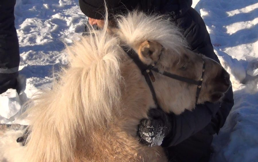 ВКемерово пони застрявшего всугробе вытаскивали cотрудники экстренных служб