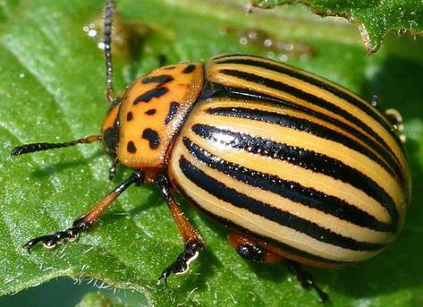 Секс колорадских жуков