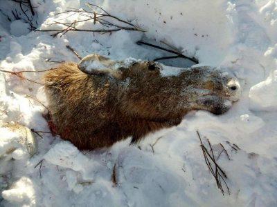 В Кузбассе осудили браконьера, застрелившего беременную лосиху