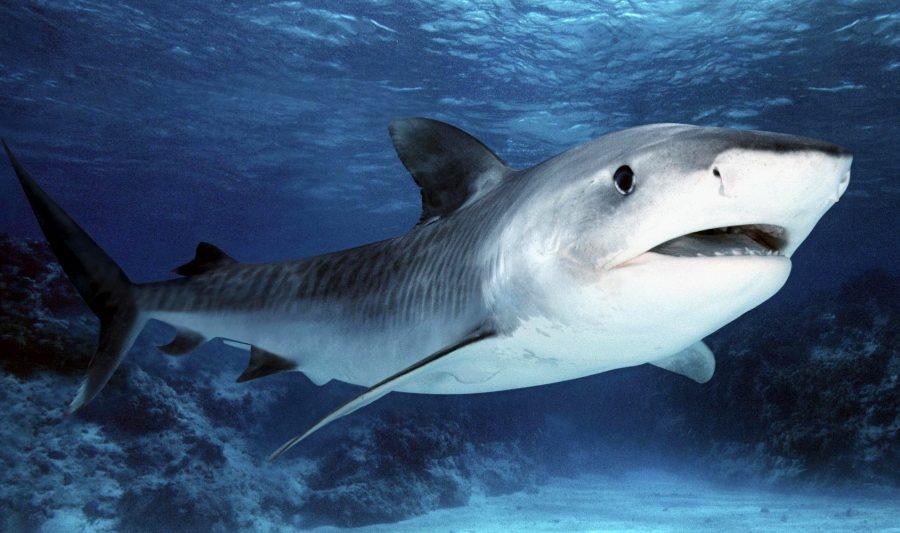 В Индийском океане акула убила борца с акулами