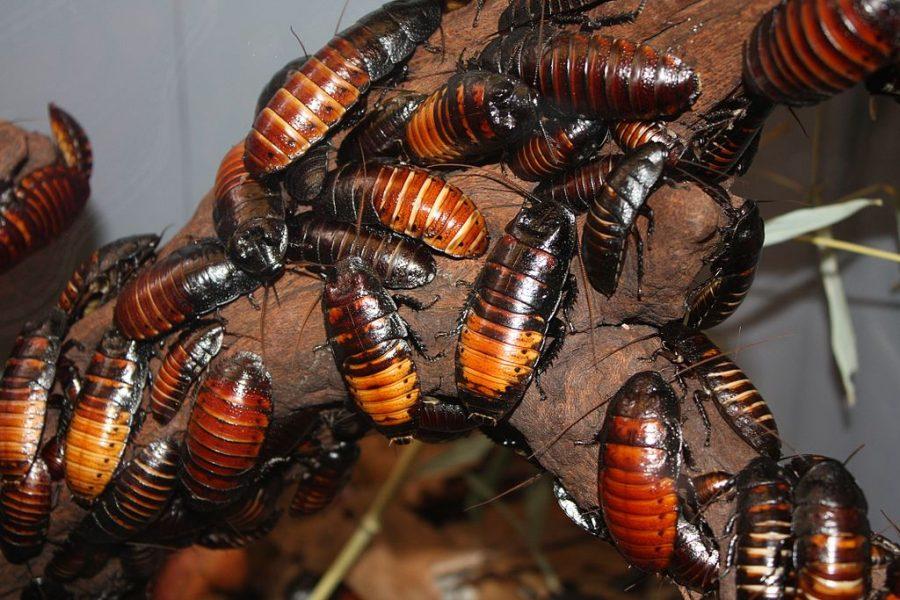 Учёные: глобальное потепление можно остановить поеданием тараканов