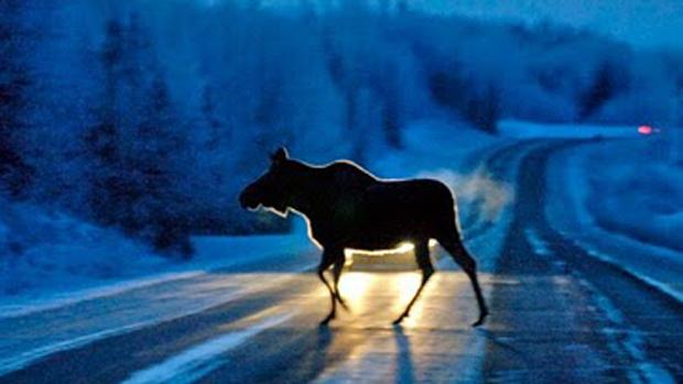 В Кемеровском районе ВАЗ сбил лося, водитель авто погиб
