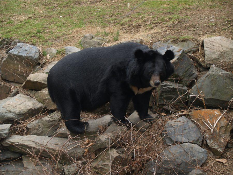 Медведь распугал спортсменов, выбежав наполе для гольфа