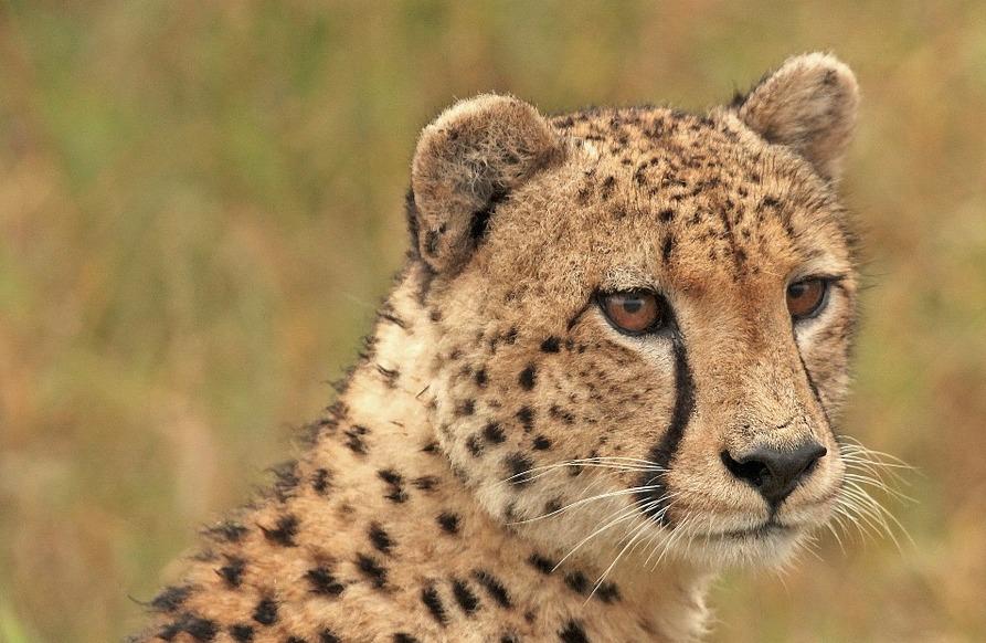 Видео: мяукающие гепарды удивили туристов