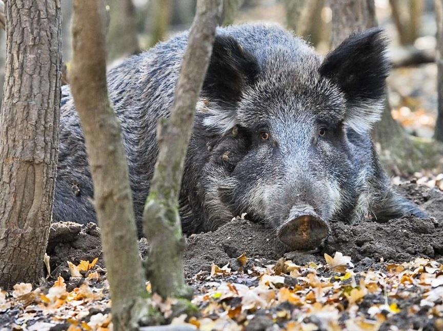 Африканская чума изОмска может погубить свиноводство вНовосибирской области