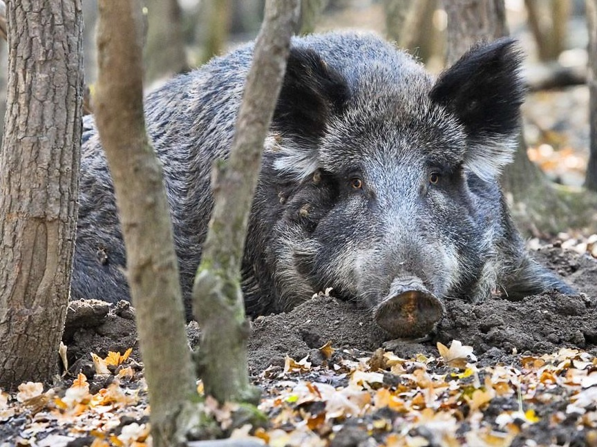 В России нашли два новых очага африканской чумы свиней