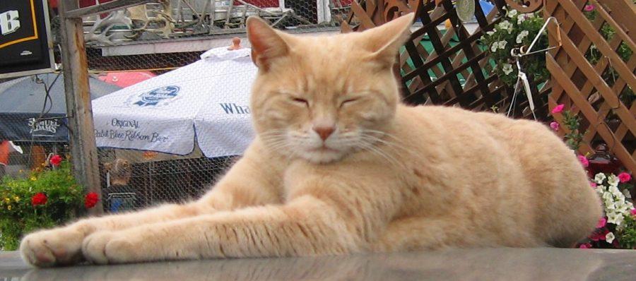 В возрасте 20 лет умер кот-мэр города на Аляске