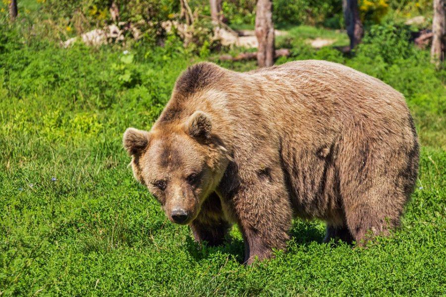 Одиннадцатилетний житель Аляски спас родственников от медведя