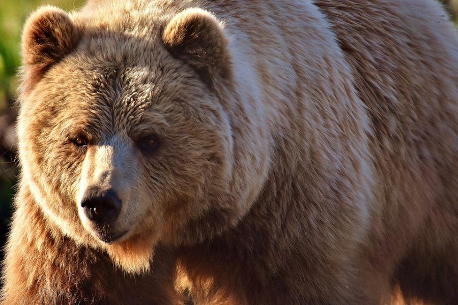 На Камчатке застрелили медведя, бродившего по территории больницы