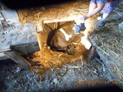 Новокузнецкие спасатели помогли корове, провалившейся под пол