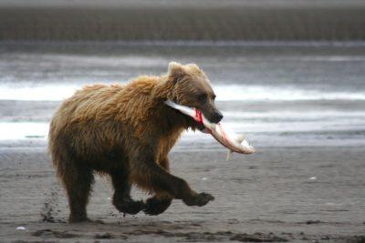 Под Хабаровском медведи съели тонну рыбы, выпавшую из грузовика
