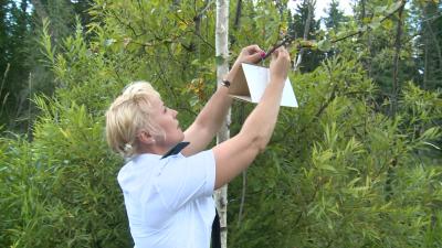 Россельхознадзор нашёл в Кузбассе бабочку сибирского шелкопряда