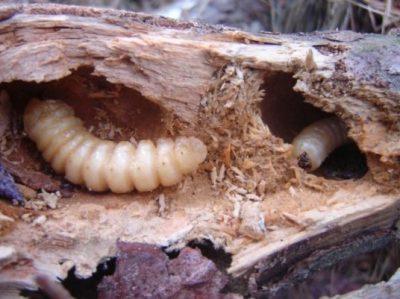Кузбасское предприятие по переработке древесины хранило партию подкарантинной продукции