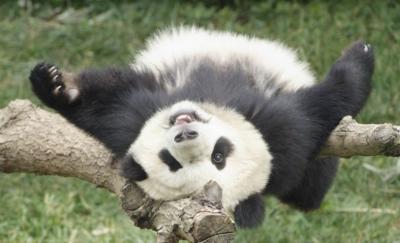 В Китае в возрасте 37 лет умерла старейшая панда на планете