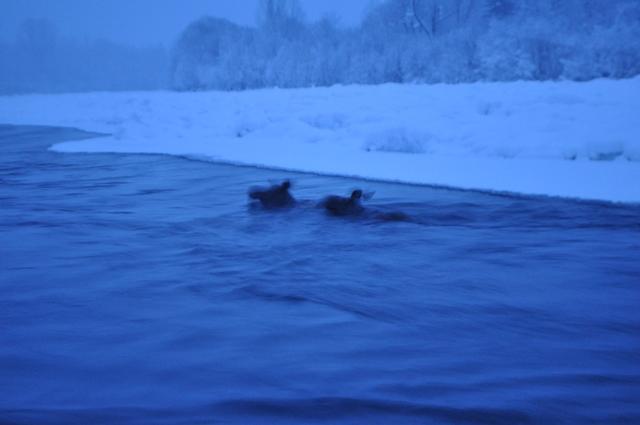 Работники Кузнецкого Алатау спасли 2-х тонущих вТоми лосей