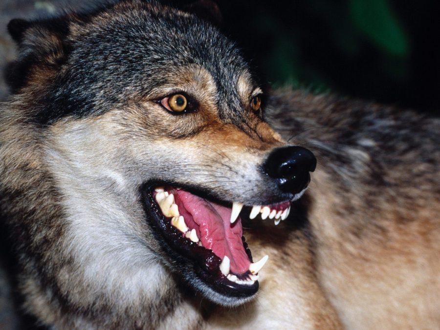ВНорильске волк напал на 3-х человек