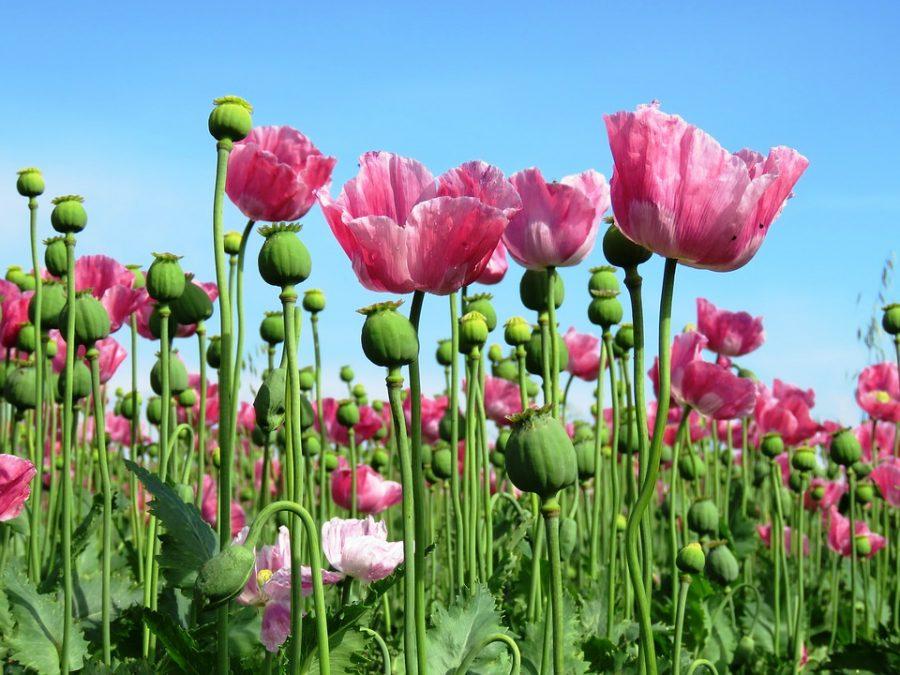 В России могут легализовать выращивание опиумного мака