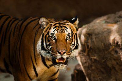 В Индии во время сафари схватку тигра и медведя сняли на видео
