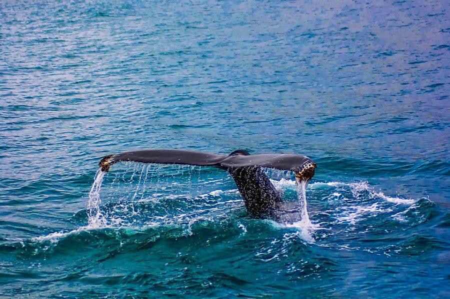 ВАвстралии на берег выбросились 150 дельфинов-гринд