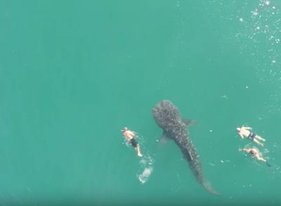 В Мексике заплыв туристов с крупнейшей в мире акулой сняли на видео