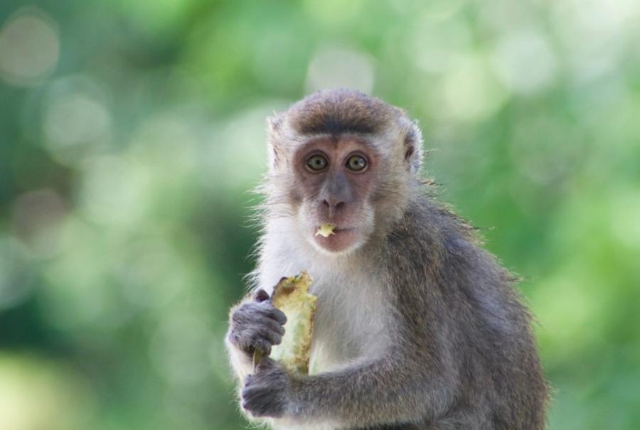 Новокузнечанка хотела купить обезьяну и отдала мошеннику 68 тысяч рублей