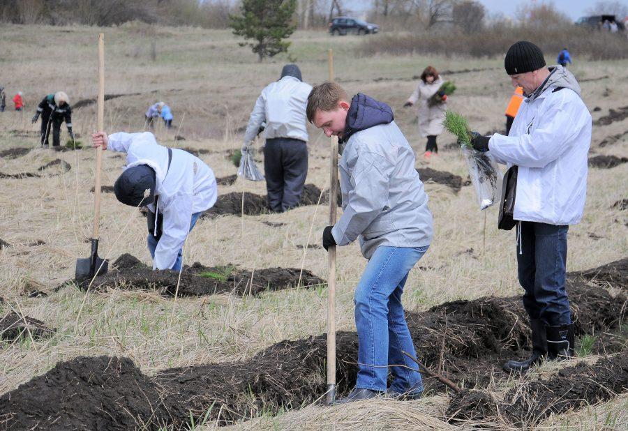 Сотрудники «Кузбассразрезугля» посадили более 1000 сосен на въезде в Кемерово