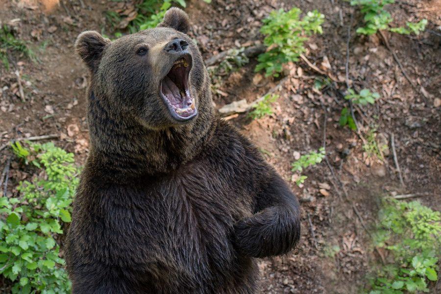 В жилом секторе Новокузнецка гулял медведь