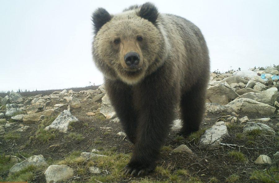 В фотоловушки «Кузнецкого Алатау» попали росомаха, лисица и медведь