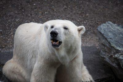 В Кемерове суд признал запрещённой информацию в Сети о продаже шкуры белого медведя