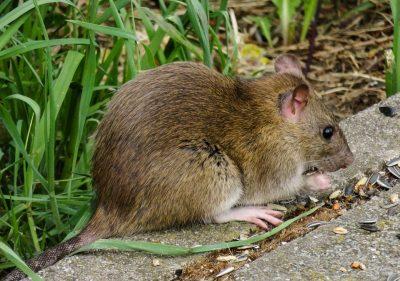 Первыйв мире случай заражения человека крысиным гепатитом выявлен в Китае