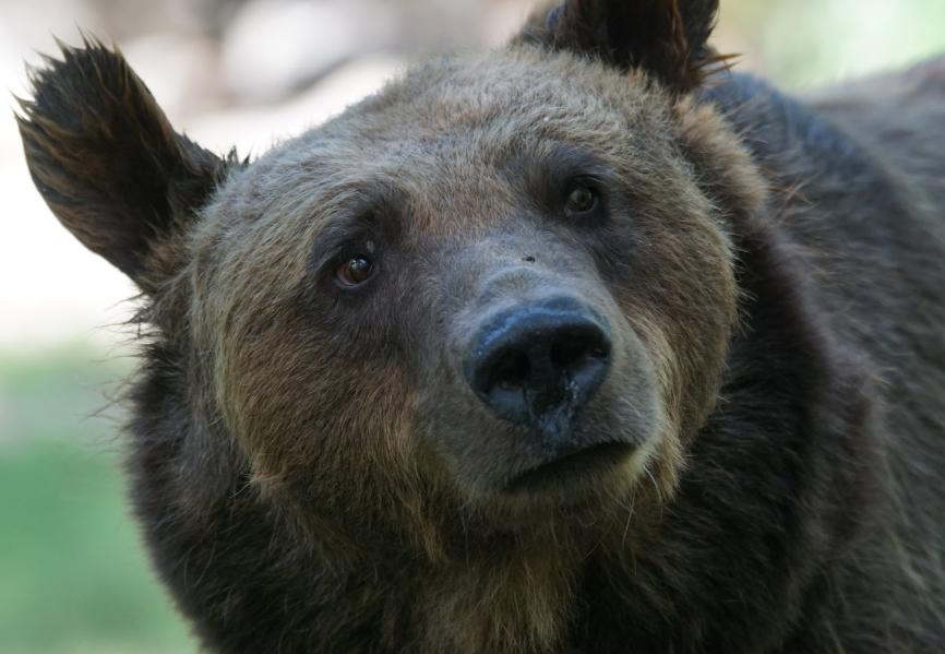 А был ли мишка: кемеровские службы опровергли появление лесного зверя в городе