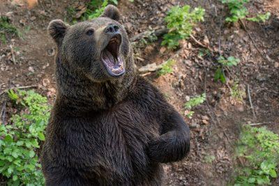 Медведь Vs бык: нападение хищника на скот в Кузбассе сняли на видео