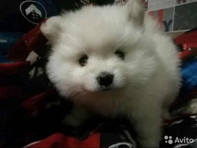 Кемеровчанка продаёт милого щенка за 130 000 рублей