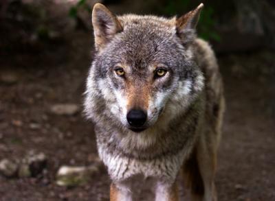 Стая волков очень близко подошла к кузбасскому посёлку