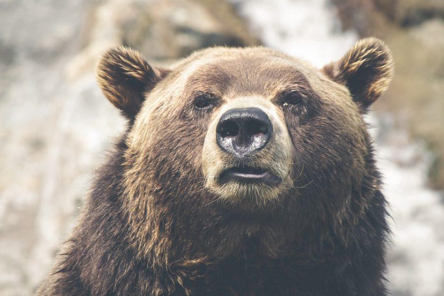 В Кузбассе медведь пришёл на угольный разрез