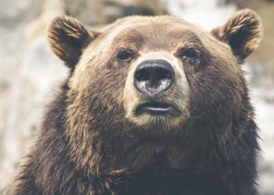 В Таштаголе гуляет голодный медведь