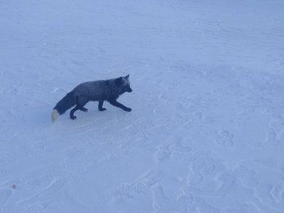 По Прокопьевску гуляет хищная чернобурая лиса